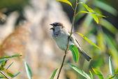 House sparrow — Stock Photo