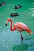 Red flamingo — Stock Photo
