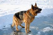 German shepherd in attention — Stock Photo