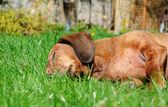 Portrait of dachshund — Stock Photo