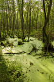 Bog and wood — Stock Photo