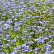 Meadow with blue flowers — Stock Photo