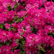 Garden background with azalea — Stock Photo