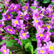 Beautiful primrose — Stock Photo #18672031