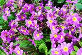 Beautiful primrose — Stock Photo