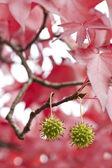 Rote blätter und grüne samen — Stockfoto