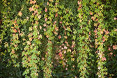 Ivy in autumn — Stock Photo