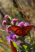 Monarch Magestic — Stock Photo