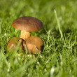 Stock Photo: Mushroom in grass