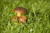 Mushroom in the grass — Stock Photo