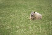 Lying sheep — Stock Photo
