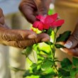 Senior Ethnic Hands Tending Flower Bushes - 