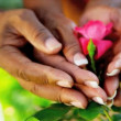 Senior Ethnic Hands Tending Flower Bushes - Stockfoto