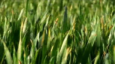 Green grass fields with blades reflecting sunlight — Stock Video