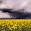 Biofuel crop with storm clouds — Stock Video #19260303
