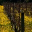 Rows of grapevines in a vineyard in Napa valley, - Stock Photo