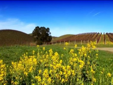 Rows of grapevines in a vineyard in Napa valley — Stock Video