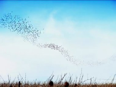 Flock of swifts feeding in the air over Napa Valley, California