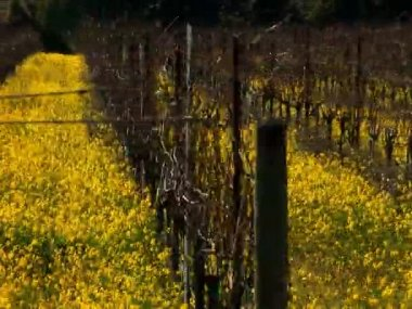 Rows of grapevines in a vineyard in Napa valley, — Stock Video
