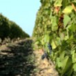 Stock Video: Close shot of vine leaves and bunch of red grapes