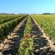 Rows of grapevines in vineyard- pshot — Stock Video #19460659