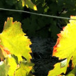 Close shot of vine leaves and bunch of red grapes - Stock Photo
