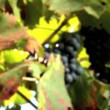Vine leaves & red grapes with glasses filled with wine — Stock Video #19460877