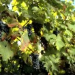 Vine leaves & red grapes with glasses filled with wine — Stock Video