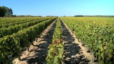 Rows of grapevines in a vineyard- pan shot — Stock Video