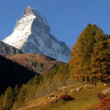 Stock Video: Sheep grazing in alpine meadow in fall Matterhorn