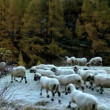 Alpine sheep in snow covered meadow - Stockfoto