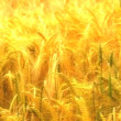 Background shot of a field of ripe golden wheat moving in a slight breeze — Stock Video