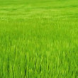 Background shot of a field of green barley blowing in a breeze - Stock Photo