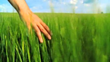 Hand brushing over the heads of green barley in a field in slow motion — Stock Video