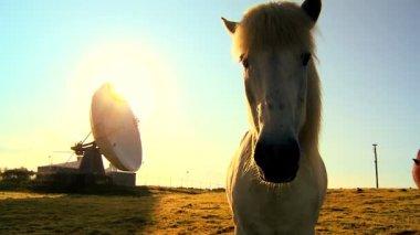Radio telescope (VLA) with wild Icelandic horse in the foreground — Stock Video