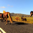 Wild horses moving alongside a rural tarmac highway - ストック写真