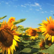 A field of sunflowers swaying gently in the breeze — Stock Video