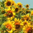 A field of sunflowers swaying gently in the wind — Stock Video