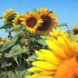 Sunflower field against a blue sky - Stock Photo