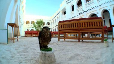 Trained bird of prey on its perch in traditional middles eastern courtyard — Vídeo Stock