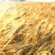 Field of Wheat - Foto de Stock