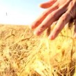 Stock Video: Hand in Wheat Field