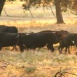 Stock Video: Spanish Bulls