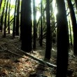 Wide-Angle View of a Forest of Trees - Stock Photo