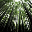 Canopy of Forest Trees - Foto de Stock  