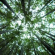 Low-Angle View of Canopy of Trees - Stock Photo