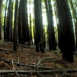 Stock Video: Forest of Trees with Wide-Angle