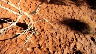 Bleached Tree in Arid Environment — Stock Video