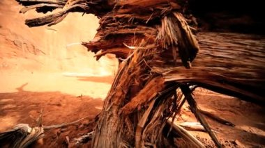 Petrification of Dead Tree in Desert Landscape — Stock Video