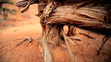Pelar la corteza de un árbol esquelético — Vídeo de Stock